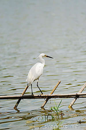 A white little egret