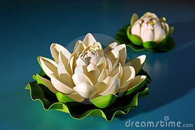 White lotus with bud