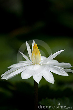 White Lotus with dewdrop