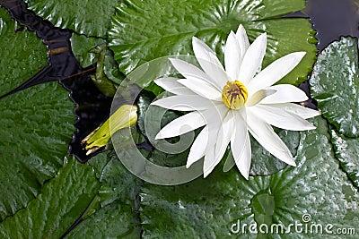 White lotus grows