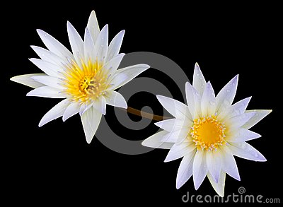White Lotus Second. Stock Photos - Image: 22396253