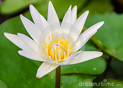 A white lotus or water lily