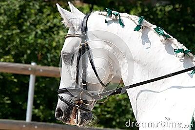 White Lusitano Horse