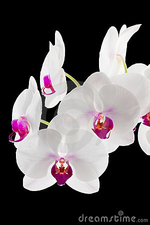 White and Magenta Orchids on Black