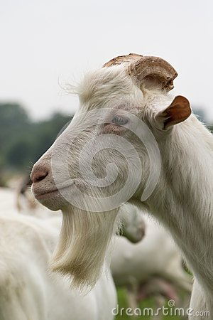 White male goat