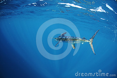 White marlin swimming in ocean