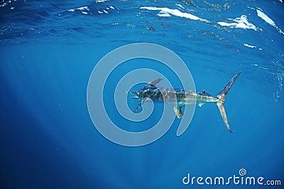 White marlin swimming in ocean