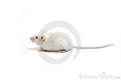 White mice isolated