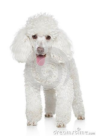 White Miniature Poodle Royalty Free Stock Image - Image: 22123816