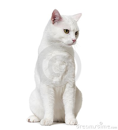 Free White Mixed-breed Cat Looking Down (2 Years Old), Isolated On Wh Stock Photo - 105771350