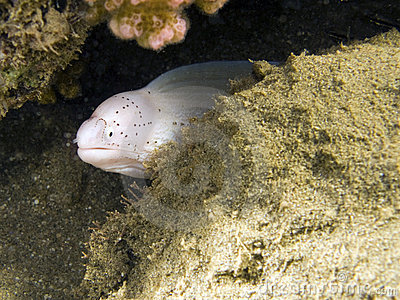 White moray eel macro