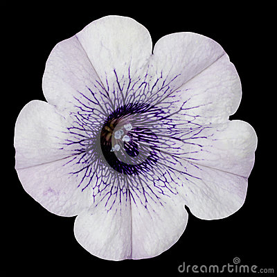 White Morning Glory Flower with Purple Center