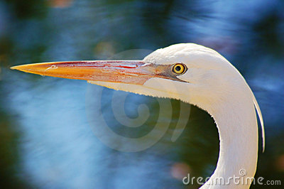 White Morph Great White Heron