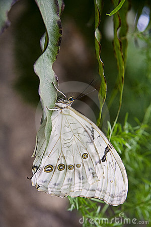 Free White Morpho Butterfly Royalty Free Stock Photos - 14071228