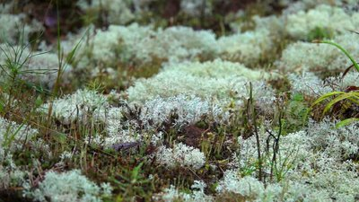 White Moss Reindeer lichen Growing in Nature. Shot with a Sony RX10 IV fps29,97 FHD stock video footage
