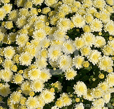 White Mums with Yellow Centers