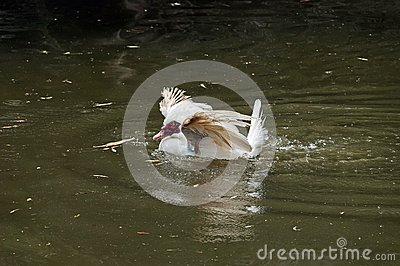 White Muscovy domestic duck
