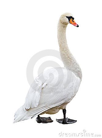 Free White Mute Swan Cutout Royalty Free Stock Photography - 3688637