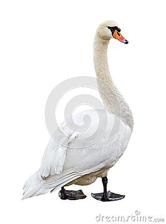 White mute swan cutout