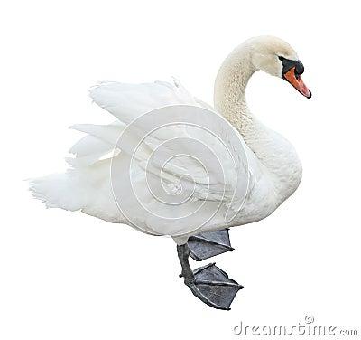 White mute swan (Cygnus olor)