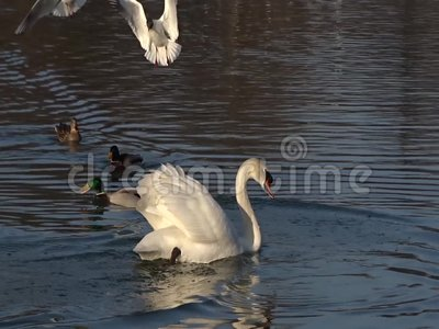 Swan floating on a pond stock video footage