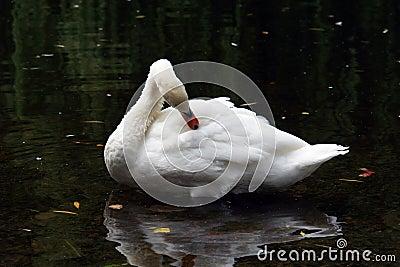 White Mute Swan Preening