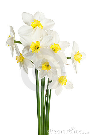 White narcissus bouquet