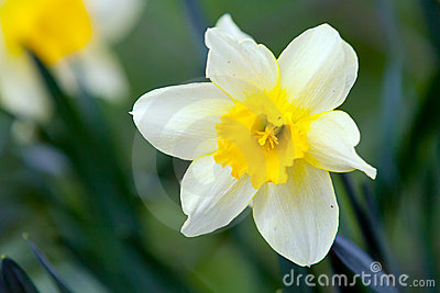 White narcissus on grass