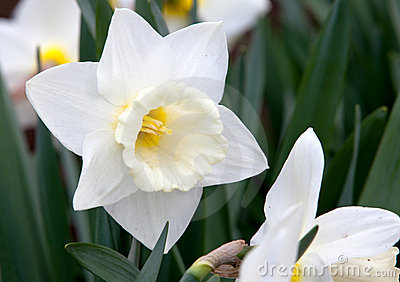 White narcissus on grass
