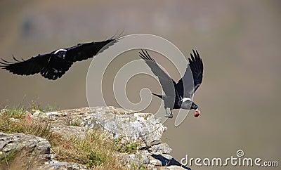 White-necked Ravens