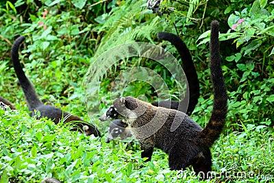 White Nosed Coati Group