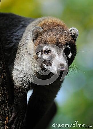 Free White-nosed Coati (Nasua Narica) Stock Photography - 11460102