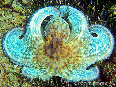 White octopus close-up
