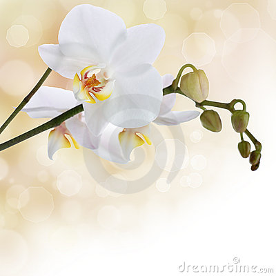Free White Orchid Stock Image - 19330551