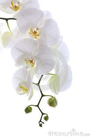 White Orchid Royalty Free Stock Photos - Image: 27011508