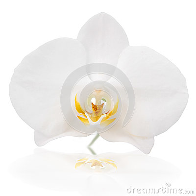 Free White Orchid Stock Image - 39241681