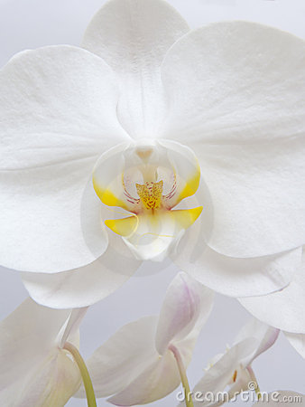 White Orchid Angel