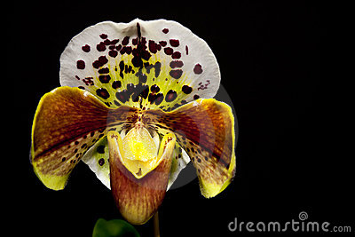 White orchid blossom