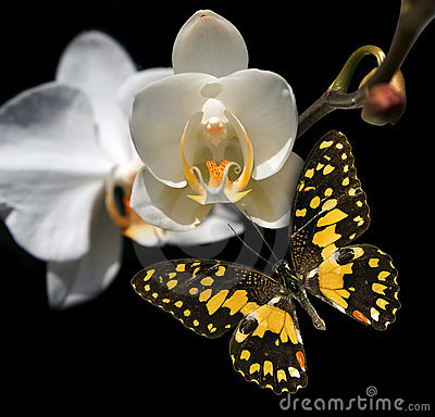 White orchid and butterfly