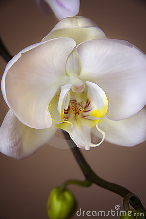 Free White Orchid Close Up Stock Images - 9117454