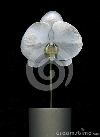Free White Orchid Flower Isolated Stock Photos - 53983803