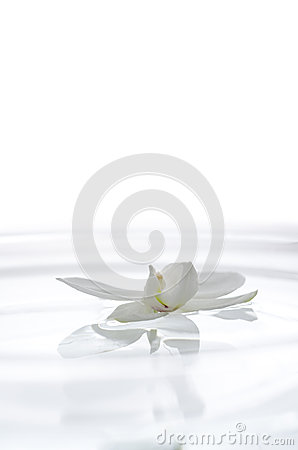 White orchid flower on the water