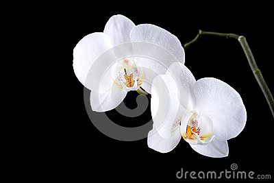 White orchid flowers with dew isolated on black
