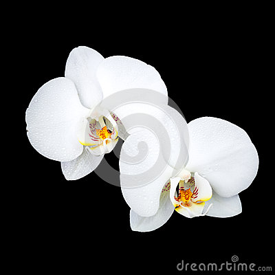 White orchid flowers isolated on black