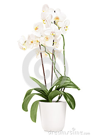 Free White Orchid In A White Pot With Many Flowers Royalty Free Stock Photography - 30946537