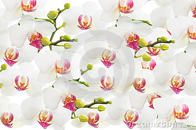 White orchid isolated, flower background