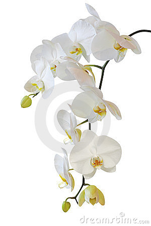 Free White Orchid Isolated On White Stock Image - 23786541