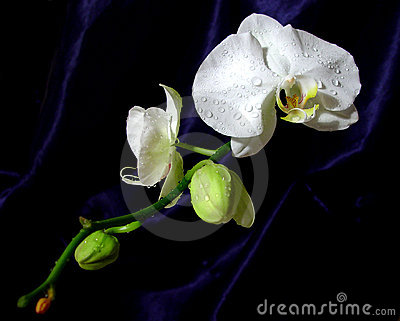 White orchid oriental style