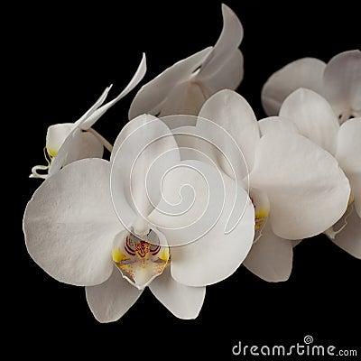 White orchid phalaenopsis on dark