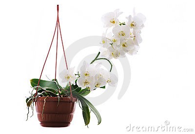 White orchid in the pot